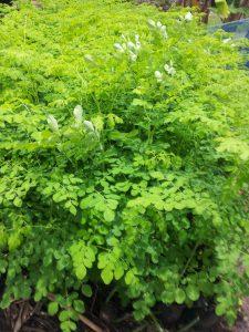 Moringa wird aufgrund seiner vielen Inhaltsstoffe auch Wunderbaum genannt.